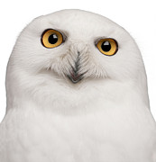 Front View Art - Snowy Owl -bubo Scandiacus by Life On White