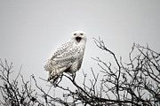 Rare Bird Of Canada Art - Snowy Owl in a tree by Pierre Leclerc