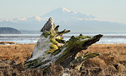 Rare Bird Of Canada Art - Snowy Owl in Boundary bay with Mt Baker by Pierre Leclerc