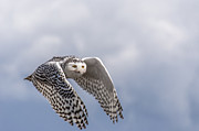 Flying Photos - Snowy Owl in Flight by Ian Stotesbury