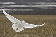 Wildlife Pyrography Posters - Snowy Owl In Flight Poster by Michaela Sagatova