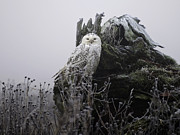 Snowy Owl Prints - Snowy Owl in the Fog 1 Print by Andrew Campbell