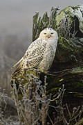 Snowy Owl Prints - Snowy Owl in the Fog 2 Print by Andrew Campbell