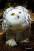 Snowy Night Prints - Snowy Owl Print by Jerry L Barrett