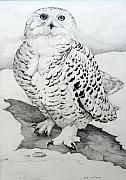 Snowy Drawings - Snowy Owl by Jill Iversen