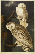 Snowy Night Night Drawings Posters - Snowy Owl Poster by John James Audubon