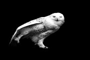 Black And White Photography Metal Prints - Snowy Owl Metal Print by Malcolm MacGregor