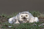Baby Bird Photos - Snowy Owl Nyctea Scandiaca Mother by Konrad Wothe