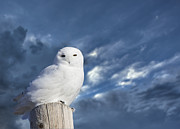 Isolated Digital Art Prints - Snowy Owl Perched Print by Mark Duffy