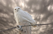 Snowy Digital Art - Snowy Owl Saskatchewan Canada by Mark Duffy