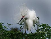 Snowy Egret Framed Prints - Snowy Stand Off Framed Print by Skip Willits