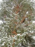 Snowy Tree Print by Beth Akerman