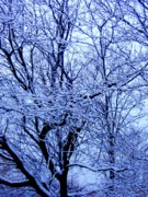 Snow On Branches Prints - Snowy Trees Print by Beth Akerman