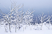 Winter Landscape. Snow Prints - Snowy trees Print by Elena Elisseeva