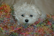 Maltese Dogs Photos - Snuggles by Lynn Bauer