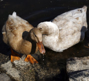 Duck Couple Posters - Snuggles Poster by Marilyn Hunt