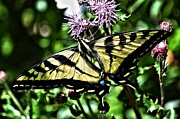 Tiger Swallowtail Digital Art Framed Prints - So Beautiful Framed Print by Don Mann