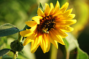 Sheryl Cox - Soaking Sunflower
