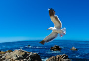 Flying Seagull Art - Soaring Bird by Harry Spitz