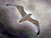 Mounted Prints Framed Prints - Soaring Framed Print by Graham Taylor