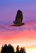 Hawk Framed Prints - Soaring Hawk Framed Print by Nick Gustafson