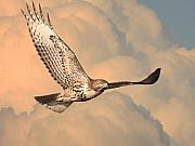 Red Tail Hawk Framed Prints - Soaring Hawk Framed Print by Wingsdomain Art and Photography