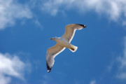 Flying Seagull Prints - Soaring Print by Murray Bloom