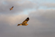 Birds Of Prey Photos - Soaring Pair by Mike  Dawson