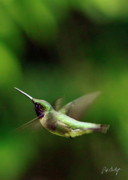 Hummingbird Prints Framed Prints - Soaring Framed Print by Phill  Doherty