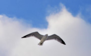 Flying Seagull Digital Art Framed Prints - Soaring Seagull Framed Print by Bill Cannon