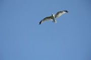 Preditor Photos - Soaring Seagull by Denise Jenks