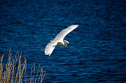 Waterscape Digital Art - Soaring Snowy Egret  by DigiArt Diaries by Vicky Browning