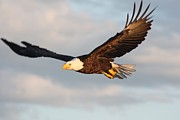 Eagle In Clouds Prints - Soaring with Purpose Print by Dave Knoll