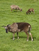 Sheila Terry - Soay Sheep (ovis Aries)