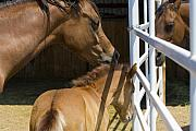 Mare Photo Originals - Socializing Amongst Horses by Marilyn Hunt