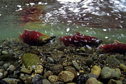 Spawning Prints - Sockeye Salmon Is Spawning Stream Print by Michael S. Quinton