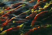 Survival Prints - Sockeye Salmon Swim Upstream To Spawn Print by Robert Sisson