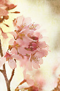 Oriental Cherry Tree Framed Prints - Soft and Breezy Framed Print by Kim Fearheiley