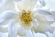 Floral Photographs Photo Originals - Soft and Pure. by Terence Davis