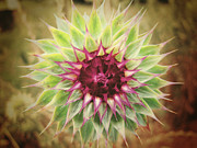 Prickly Framed Prints - Soft As a Thistle Framed Print by Amy Tyler