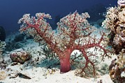 Sea Bed Prints - Soft Coral On A Reef Print by Georgette Douwma