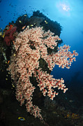 Wreck Prints - Soft Coral On The Liberty Wreck, Bali Print by Todd Winner