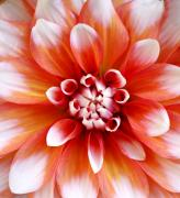Flora Art Prints - Soft Dahlia Print by Cathie Tyler