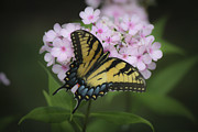 Phlox Photo Prints - Soft Focus Tiger Swallowtail Print by Teresa Mucha