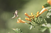 Humming Bird Prints - Soft Landing Print by Robert Pearson