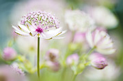 Orientation Metal Prints - Soft on Astrantia Metal Print by Jacky Parker