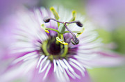 Passion Flower Photos - Soft Passion by Jacky Parker