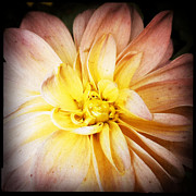 Noir Digital Art - Soft Peach Dahlia by Christy K Heffernan