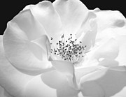 White Florals Prints - Soft Petal Rose in Black and White Print by Jennie Marie Schell