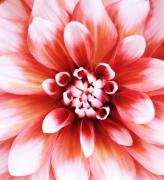 Dahlias - Soft Pink Dahlia by Cathie Tyler